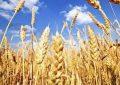 ۴۹ هزار تن گندم از کشاورزان استان قزوین خریداری شد