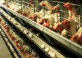 انجام واکسیناسیون هدفمند علیه بیماری آنفلوانزای فوق حاد پرندگان در قزوین